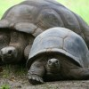 Esmeralda Riesenschildkröte